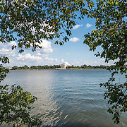 The famous Yoshino Cherry Trees around the Tidal Basin in Washington DC in the summer with their full green leaf cover. In the early spring, several thousand cherry trees in the area burst into flower with pink and white blossoms. In the distance is the Jefferson Memorial.