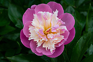 Paeonia 'Bowl of Beauty' a pink and yellow peony covered with raindrops
