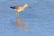 A greater yellowlegs (Tringa melanoleuca) calls as it wades in the Stillaguamish River near Stanwood, Washington.