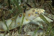 goldspotted snake eel,<br /> Myrichthys ocellatus, <br /> Bahamas ( Western Atlantic Ocean )