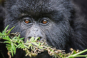 Close-up portrait of a mountain gorilla (Gorilla beringei beringei) in the forest, Parc de Volcanos, Rwanda, Africa