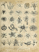 Twenty Four classes of Linnaeus Copperplate engraving From the Encyclopaedia Londinensis or, Universal dictionary of arts, sciences, and literature; Volume III;  Edited by Wilkes, John. Published in London in 1810
