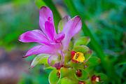 Tumeric Flower, Lyon Arboretum. Manoa Valley, Honolulu, Oahu, Hawaii