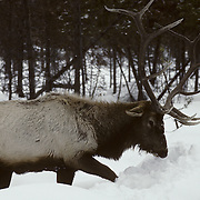 Elk (Cervus canadensis) bull working to uncover the bark of a fallen pine to feed on during winter in Wyoming.