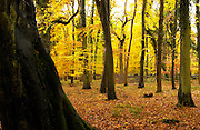 Woodland sceneduring autumn in Oxfordshire, England