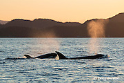 transient orcas or killer whales, Orcinus orca, exhale as they surface at sunset in the Strait of Georgia, north of the San Juan Islands, Washington, United States, and east of Vancouver Island, British Columbia, Canada