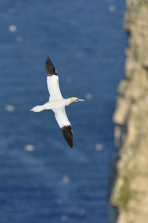 Gannet Morus bassanus W 165-180cm. Our largest seabird. Has deep, powerful wingbeats and glides on stiffly held wings. Bill is large and dagger-like. Dives from a height to catch fish. Sexes are similar. Adult has mainly white plumage with black wingtips; head has buffish wash. Juvenile has dark brown plumage speckled with white dots in first year; adult plumage acquired over next 4 years. Voice Silent at sea; nesting birds utter grating calls. Status Very locally common (3/4 of world population breeds here). Nests colonially but otherwise strictly marine.