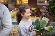 Eden Swain picks a kholrabi plant from her school's garden in Salem, Oregon.