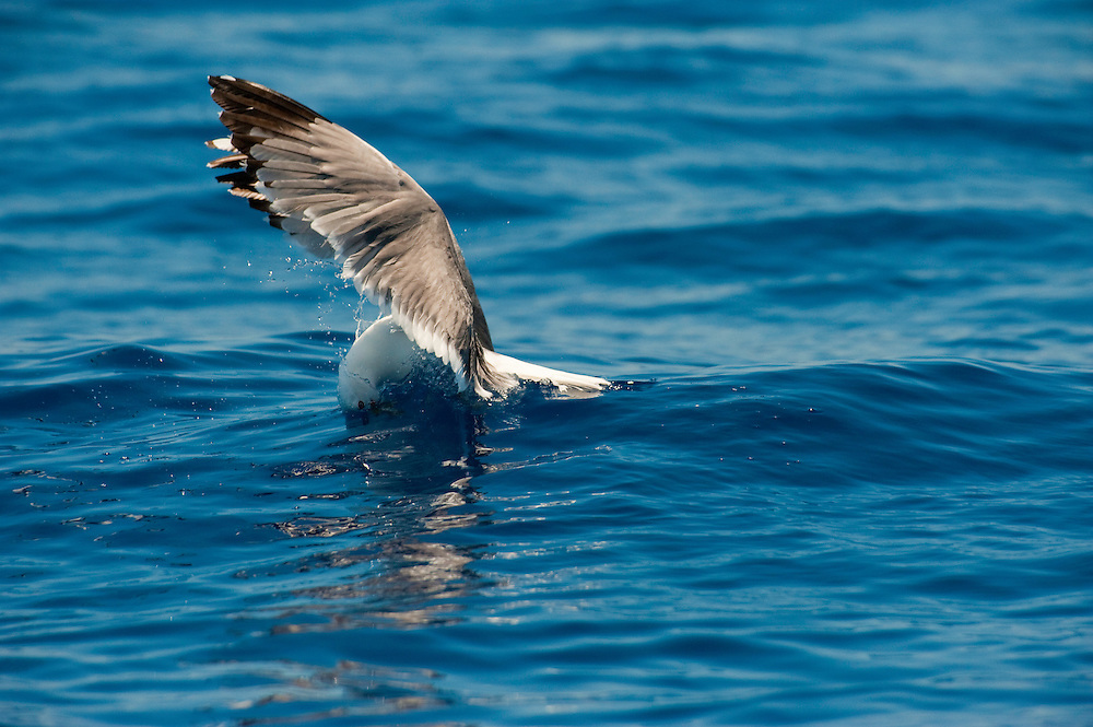 Adult Yellow-legged Gull (Larus michahellis) Canary Islands. Spain