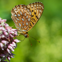 A silver-bordered fritillary butterfly, Boloria selene, in a field in Duxbury, Vermont.