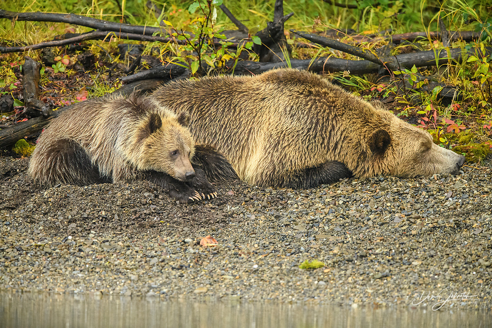 Grizzly bear (Ursus arctos)- Mother bear resting on shore of the Chilko River while hunting for spawning sockeye salmon, Chilcotin Wilderness, BC Interior, Canada