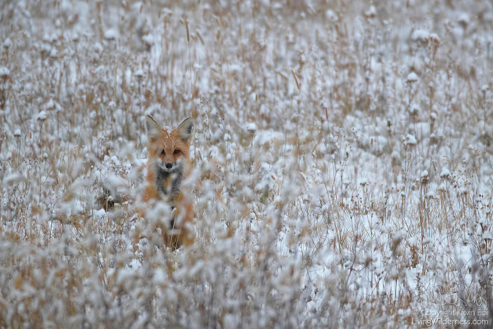 A red fox (Vulpes vulpes) tries to blend in among the snow-covered grasses near the Blacktail Plateau in Yellowstone National Park, Wyoming.