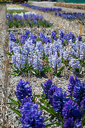 The hyacinth trial fields at Floratuin Julianadorp. Light blue hyacinth is Hyacinthus 'City of Bradford'