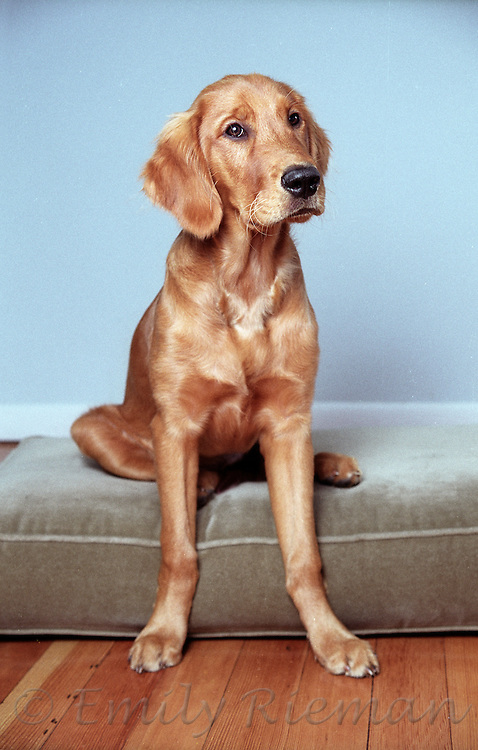 golden retriever on green cushion in front of blue wall