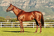 Philanthropist (stallion) stands for a confirmation image at Drakenstein Farm. Image by Greg Beadle Images captured by Greg Beadle