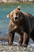 A Grizzly bear boar shakes off water from fishing in the upper McNeil River falls at the McNeil River State Game Sanctuary on the Kenai Peninsula, Alaska. The remote site is accessed only with a special permit and is the world's largest seasonal population of brown bears.