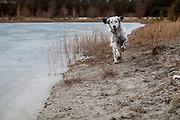 """English Setter """"Rudy"""" läuft am 29.01. 2019 in der Nähe von seinen gefrorenen Teich in Stara Lysa, (Tschechische Republik).  Rudy wurde Anfang Januar 2017 geboren."""