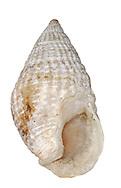 Dog Whelk - Nucella lapillus