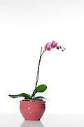Purple Phaleanopsis Orchid on white background