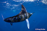 striped marlin, Kajikia audax (formerly Tetrapturus audax ), with patch of red copepod parasites on right side of dorsal fin, off Baja California, Mexico ( Eastern Pacific Ocean )