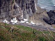 New Zealand, Cape Kidnappers, Gannet colony Australasian Gannet (Morus serrator)
