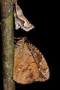 Darius Butterfly & Empty Chrysalis (Dynastor darius)<br /> Tiputini Biodiversity Station, Adjacent to  Yasuni National Park, Amazon Rainforest<br /> ECUADOR. South America<br /> HABITAT & RANGE: Guatamala south to Brazil