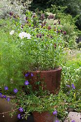 Cerinthe major 'Purpurascens' in large terracotta pot