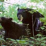 Black Bear, (Ursus americanus) Minnesota, male and female mating in forest. Summer.