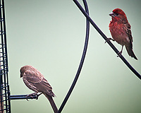 House Finch. Image taken with a Nikon D5 camera and 600 mm f/4 mm VR lens (ISO 1600, 600 mm, f/5.6, 1/640 sec)