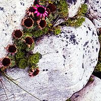 Wildflowers grow between boulders in the Khumbu region of Nepal, 1980