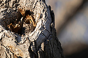 Photograph of Western Screetch-Owl Megascops kennicottii from San Pedro Riparian National Conservation Area, AZ