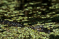 An alligator hatchling in the water on the Turner River in the Everglades