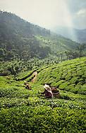 Mid adult women harvest tea leaves at a plantation near Udhagamandalam in the Western Ghats, Tamil Nadu, India.