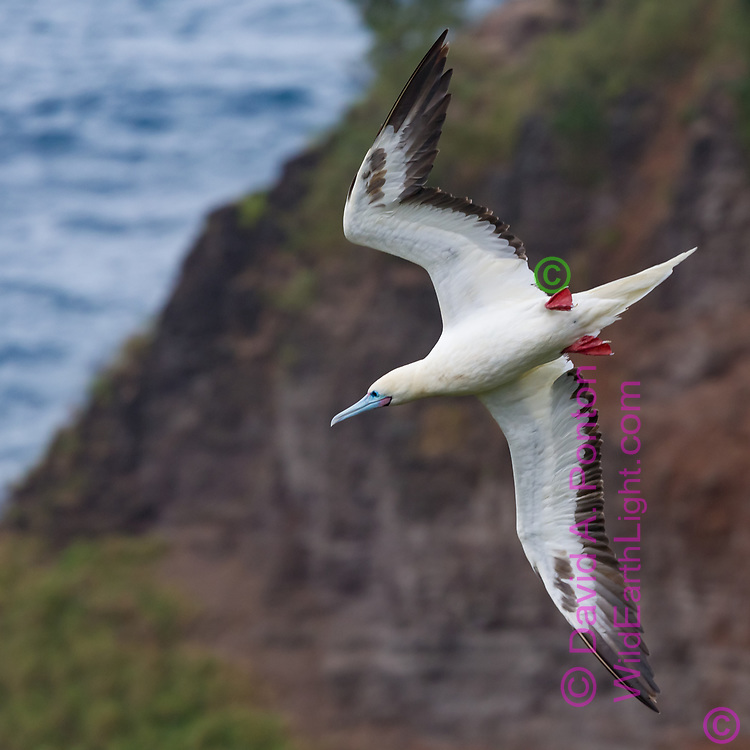 Red-footed booby flying along sea cliff, wings vertical for maneuver or side slip, head level, coast of Kauai, Hawaii, © David A. Ponton