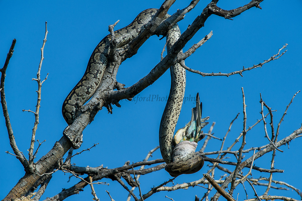 African Rock Python (Python sebae) eating Bee-eater (Merops sp)<br /> Marakele Private Reserve, Waterberg Biosphere Reserve<br /> Limpopo Province<br /> SOUTH AFRICA<br /> HABITAT & RANGE: Open Savannah & riverine scrub areas of Southern and Sub-Saharan Africa<br /> AFRICA'S LARGEST SNAKE