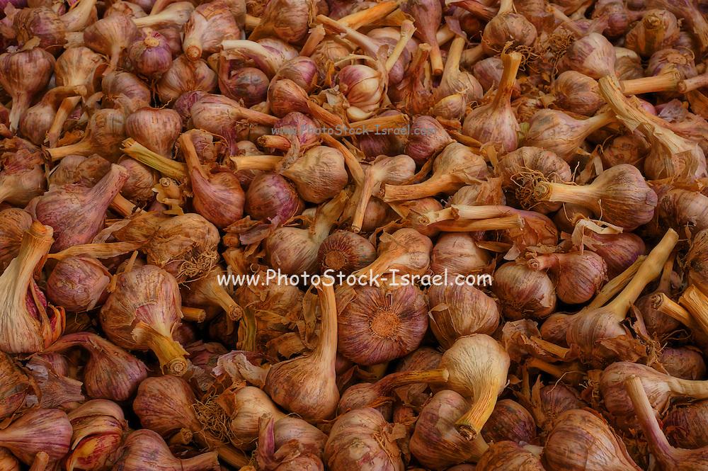 A pile of Garlic bulbs (Allium sativum)