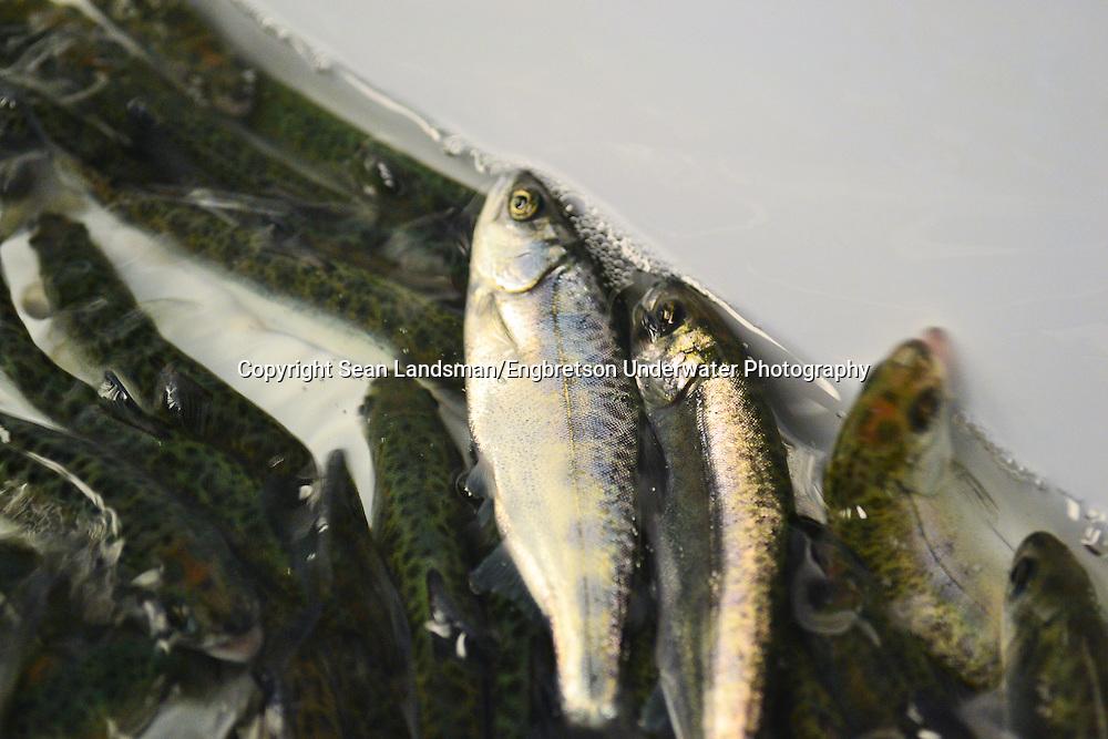 Chinook Salmon in Hatchery<br /> <br /> Sean Landsman/Engbretson Underwater Photography