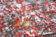 01530-176.02 Northern Cardinals (Cardinalis cardinalis) male & female on Common Winterberry (Ilex verticillata)  in snow  Marion Co. IL