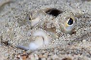 European plaice, Pleuronectes platessa<br /> Moere coastline, Norway