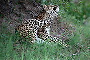 Leopard, Panthera pardus grooming near Lebala Camp, Okavango