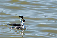 A pair of Western Grebes, Aechmophorus occidentalis, swims together at Tule Lake National Wildlife Refuge, Oregon