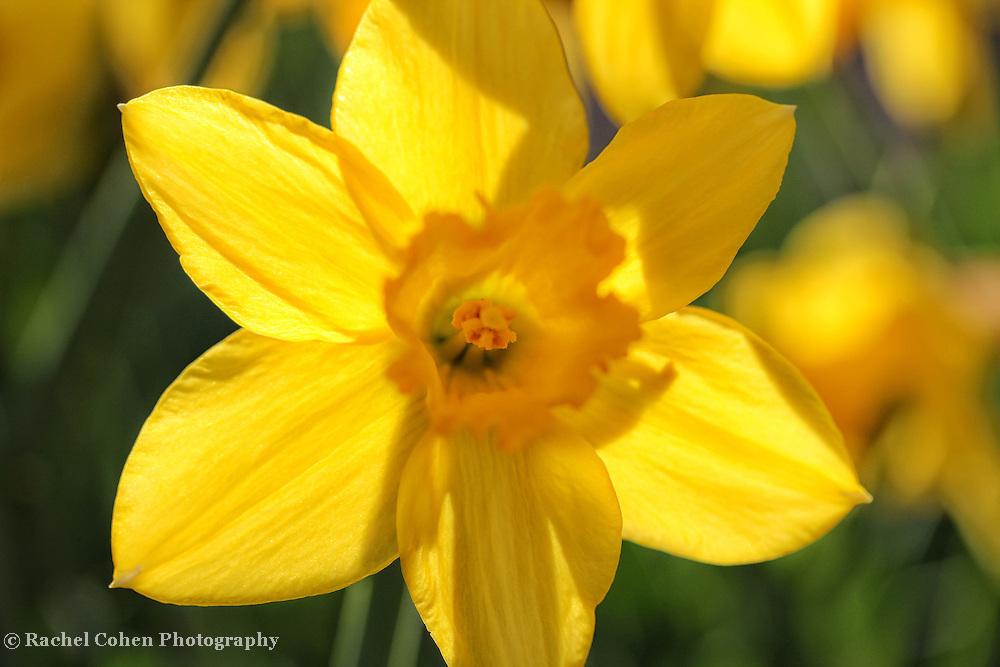"""""""Back Lit Petals"""" 2<br /> <br /> Flowers by Rachel Cohen"""