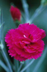 Dianthus 'Devon Wizard'- Carnation, Pink
