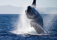 Humpback whale, Maui, Hawaii