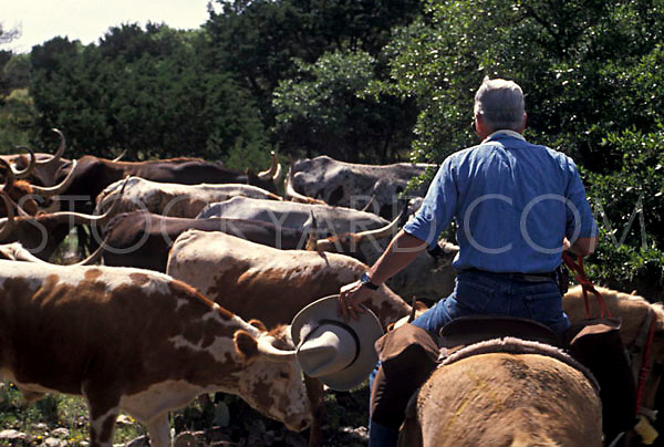Rancher on his horse guides the herd