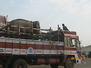"""EXCLUSIVE BY<br /> Nick York and Rebecca Bundhun<br /> <br /> <br /> A chained and abused Indian elephant that Sir Paul McCartney campaigned to save has finally been rescued, two years after efforts first began to secure his release.<br /> The 14-year-old elephant, called Sunder, on Friday arrived at his new home: a 50 hectare green leafy sanctuary in Bangalore in south India.<br /> He travelled a gruelling 400 miles by truck from Kolhapur in India  - where he had been chained and beaten in an old poultry shed – to get to his new home. Now, he is receiving care for a serious leg wound that resulted from recent maltreatment and once he has adjusted and recovered he will be allowed to roam free in the rescue centre in the company of thirteen other elephants, according to People for the Ethical Treatment of Animals (PETA).<br /> A campaign backed by former Beatle Sir Paul was launched by the animal rights group PETA  two years ago in an effort free Sunder from the Hindu temple where he was being kept at that time, after it emerged that the elephant was being beaten by his handler. As a result of the abuse, the elephant had a number of scars and eye injury, as well as a hole in his ear. Sir Paul wrote a letter to Indian government officials in July 2012.  """"I have seen photographs of young Sunder … put in chains with spikes,"""" he wrote. """"Years of his life have been ruined by keeping him and abusing him in this way and enough is enough.""""<br /> The former Baywatch star Pamela Anderson also supported the campaign.<br /> Sunder spent five years chained at the Jyotiba Temple in Kolhapur, after he was donated to it by a local politician. Elephants are sometimes kept at Hindu temples in Indian to offer blessings to visitors. Soon after the campaign's launch, the elephant was moved to a nearby disused poultry shed owned by the politician who donated him to the temple, against the orders of authorities that he should be sent to a sanctuary. There the terrible treatment of the elep"""