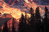 Morning alpenglow lights glaciers on Mount Rainier with tall conifers silhouetted against the mountain. WA, USA