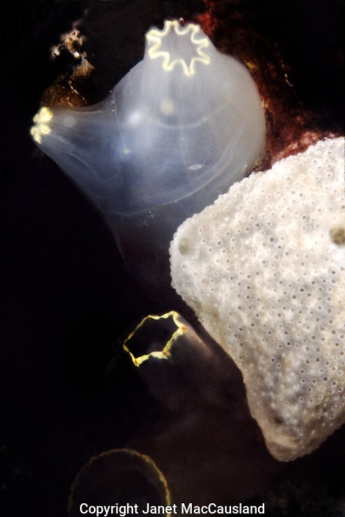 """Sensitive to  my presence and my strobe, this Sea Vase Tunicate (Ciona intestinalis) has closed one siphon and partially closed its other. On the right is an encrusting tunicate Northern White Crust (Didemnum albidum). Both tunicates are competing for space. The Sea vase can reach 6"""" in height, but I have not seen them that large. It is a shallow water species, but subtidal. Unlike the solitary sea vase, the white crust is colonial, spreading 4 inches or more. Didemnum candidum is a species nearly identical to Didemnum albidum."""