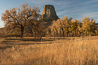 """Last month I visited Devils Tower when the fall colors were at their peak. Although the tower is mostly surrounded by a pine forest, there are some deciduous trees to the south by the Belle Fourche River. While wandering around before sunset I found this view of the tower above the oak and cottonwood trees. Established in 1906 by Theodore Roosevelt, this was the first national monument in the US. Devils Tower is actually a mistranslation of the Native American name """"Mato Tipila,"""" which means Bear Lodge."""
