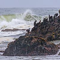 Cormorants perch on a rock in the Pacific Ocean near Pescadero, California.